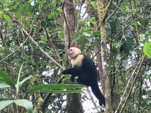 Capuchin/White-faced monkey