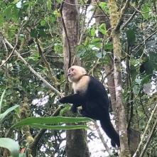 Capuchin/White-faced monkey